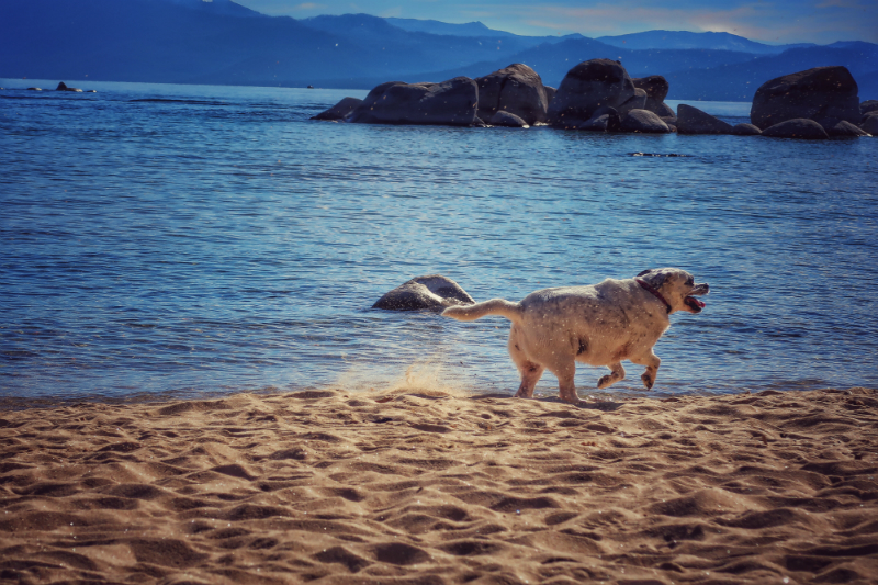 chubby-dog-running-on-the-beach
