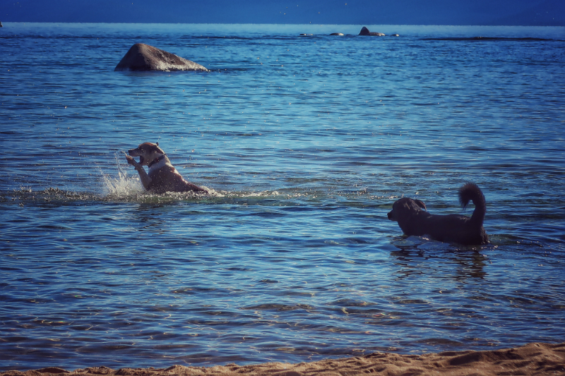 dogs-playing-in-lake-tahoe